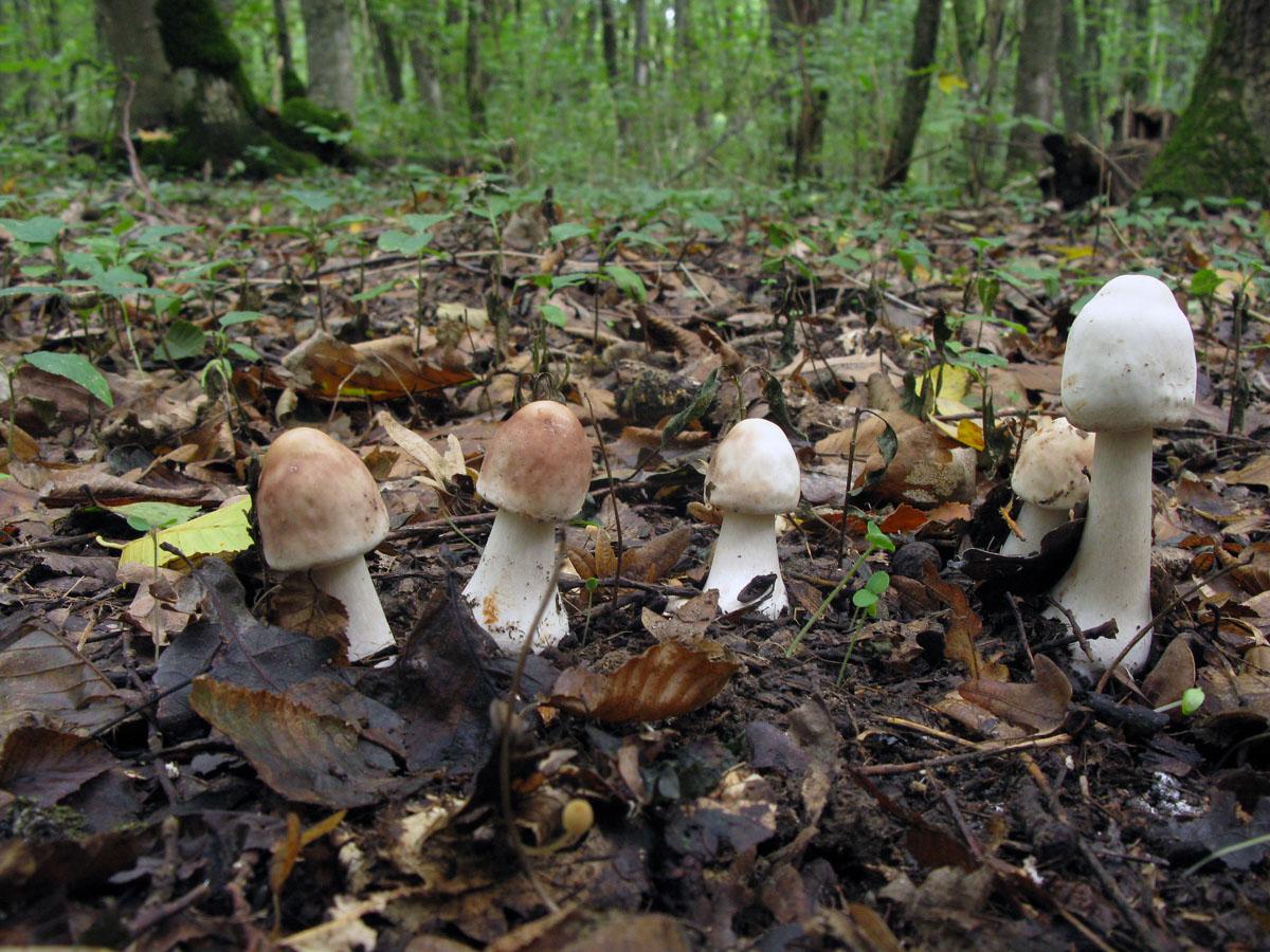 Гриб-зонтик краснеющий (Chlorophyllum rhacodes) Автор фото: Ирина Уханова