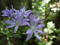 s:травянистые,c:голубые,соцветия - корзинки