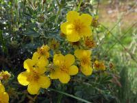 s:кустарники,s:мелкие кустарники,s:стланик,s:листопадные,c:цветки желтые