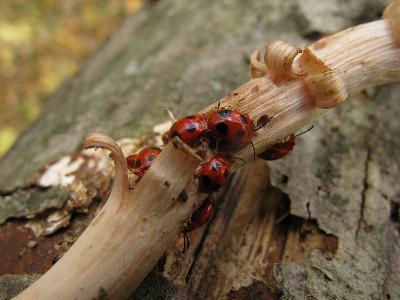 Ставропольский край, широколиственный лес, на Опенке Armillaria mellea. Мелкие жуки, питающиеся грибами. Безобидный не хищный жук,его личинки также питаются грибами. Яркая окраска имитирует внешний вид божьих коровок, что не привлекает насекомоядных птиц. Автор фото: Ирина Уханова