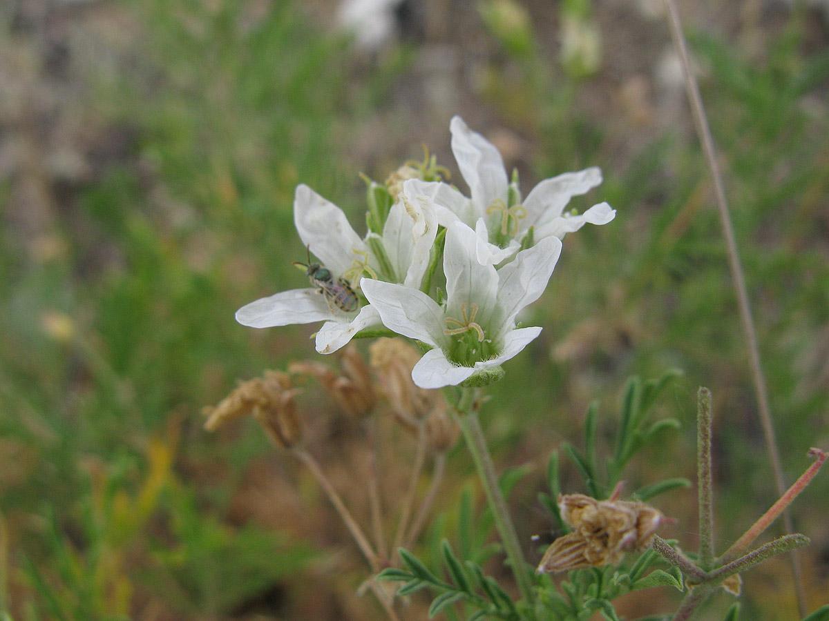 Аистник Стевена (Erodium stevenii). Автор фото: