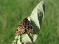 s:бабочки,c:коричневые