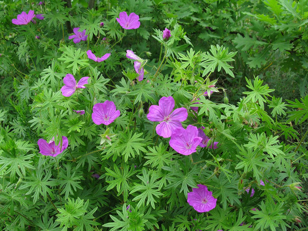 Герань кроваво-красная (Geranium sanguineum). Автор фото: