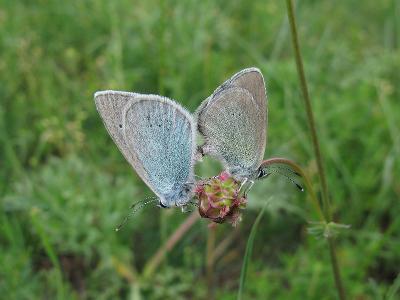 Голубянка алексис (Glaucopsyche alexis) Автор: Ирина Уханова