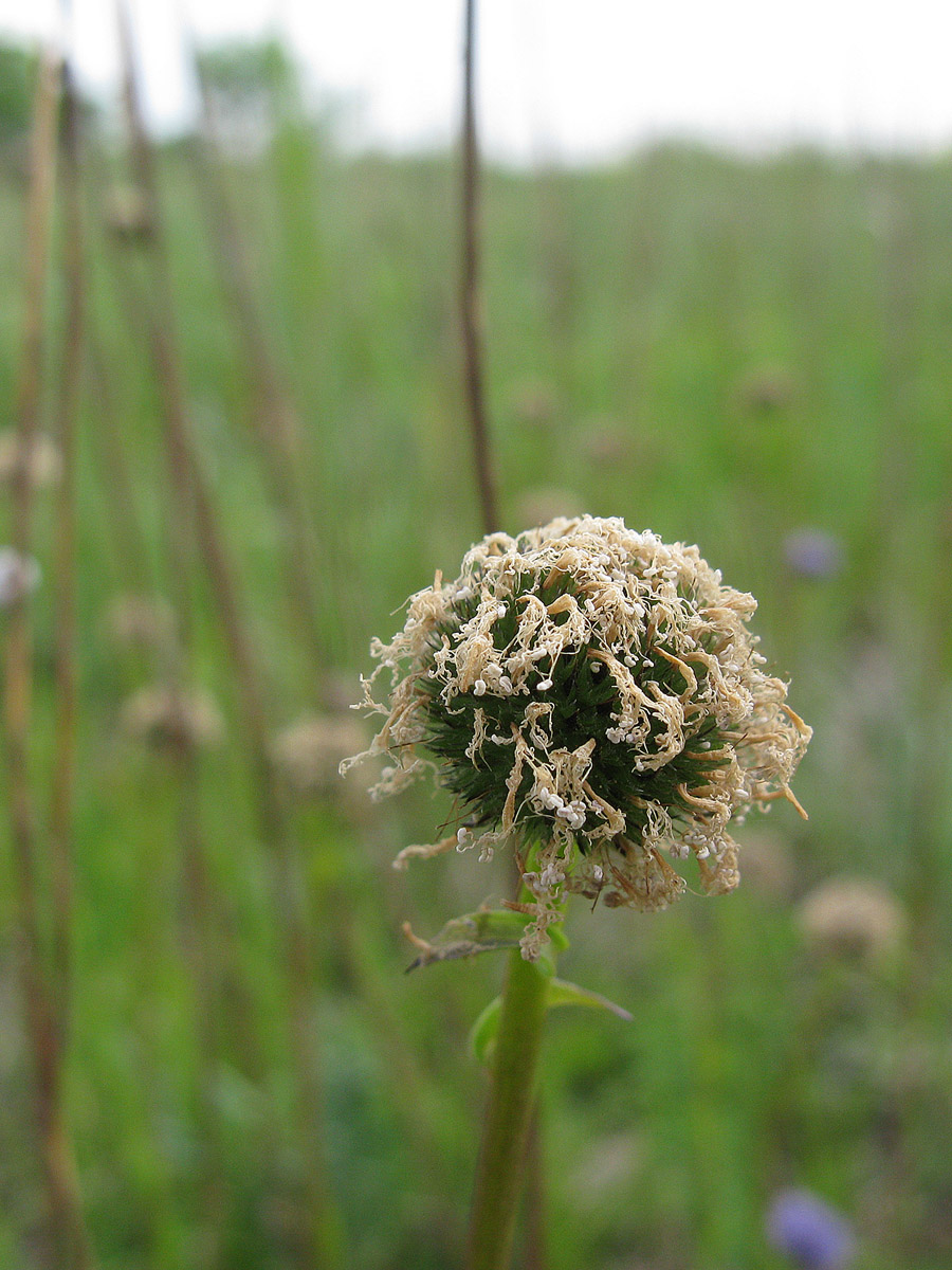 Шаровница точечная (Globularia punctata). Автор фото: