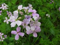 s:травянистые,c:розовые,c:светло-розовые,c:фиолетовые или лиловые,лепестков 4,околоцветник актиноморфный,l:простые,l:очередные,f:стручок