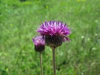 s:травянистые,b:прямостоячий,c:фиолетовые,c:фиолетовые или лиловые