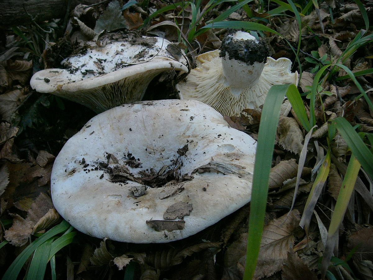 Млечник Бертиллона (Lactifluus bertillonii). Автор фото:
