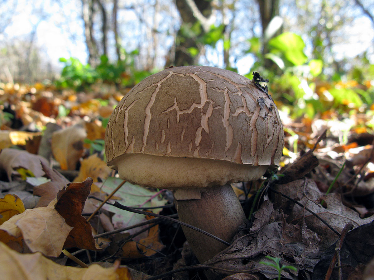 Подберезовик твердоватый (Leccinum duriusculum) Автор фото: Ирина Уханова