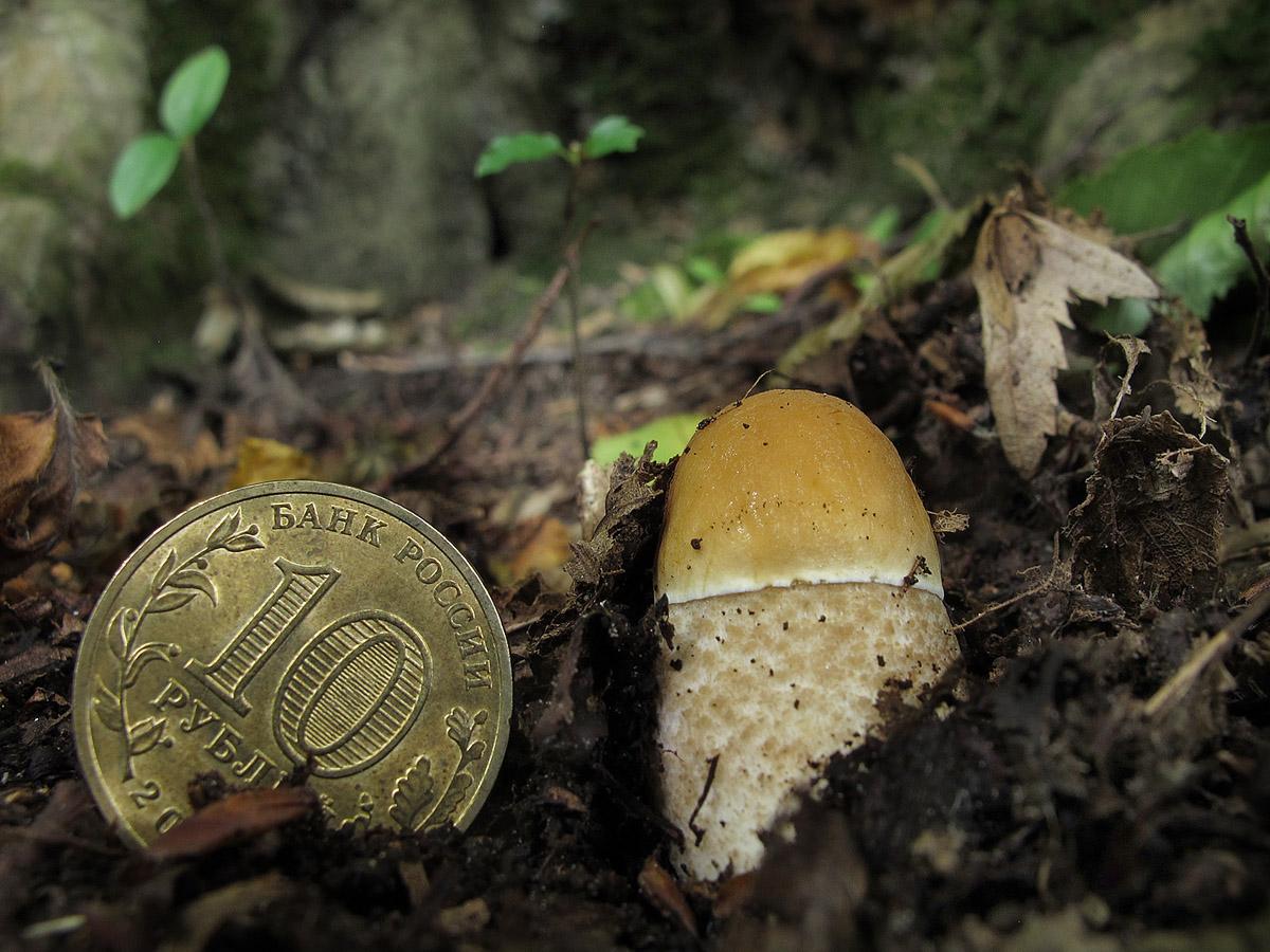 Грабовик (Leccinum pseudoscabrum). Автор фото: