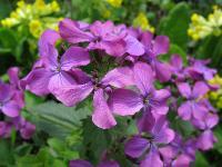 s:травянистые,i:однолетние,соцветия - кисть,c:белые,c:фиолетовые или лиловые,f:боб,f:стручок,f:сухие,d:антропогенное,i:двулетние,i:декоративные,b:прямостоячий,околоцветник актиноморфный,лепестков 4,l:простые