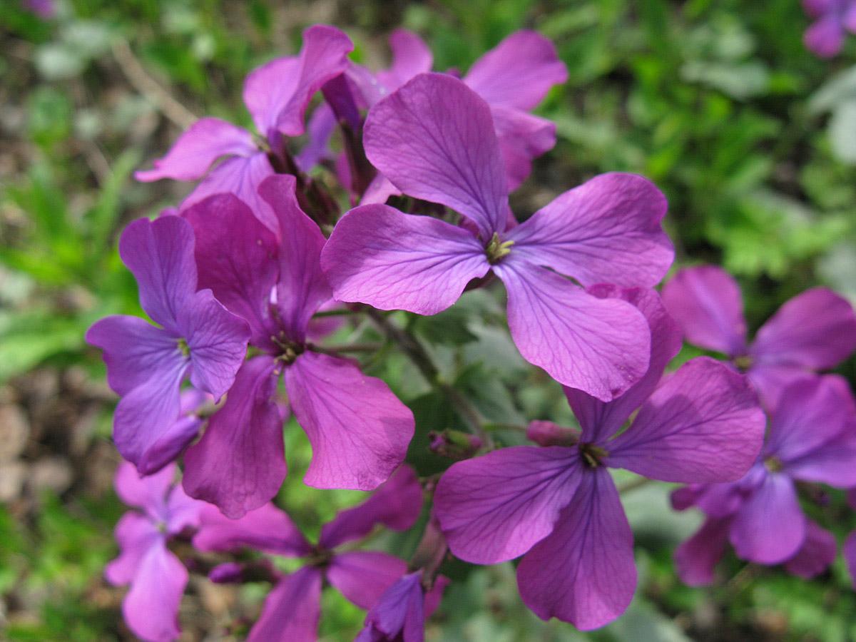 Лунник однолетний (Lunaria annua) Автор фото: Ирина Уханова