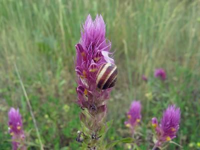 Марьянник полевой (Melampyrum arvense ) Автор: Ирина Уханова