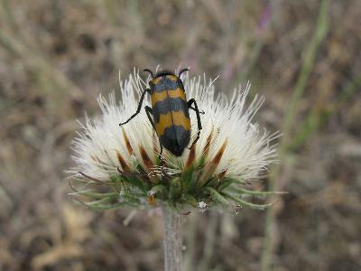 Нарывник изменчивый (Mylabris variabilis) Автор: Ирина Уханова