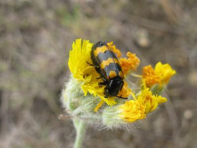 Нарывник изменчивый (Mylabris variabilis). Автор: Ирина Уханова