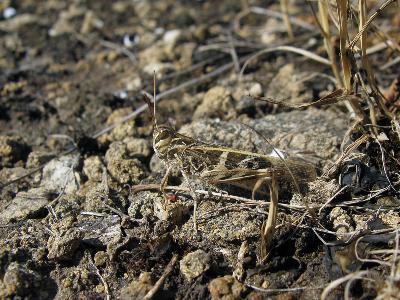 Кобылка чернополосая (Oedaleus decorus) Автор: Ирина Уханова