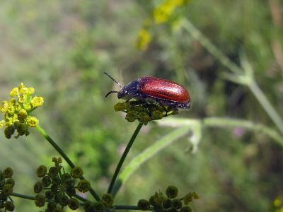 Пыльцеед-протей (Omophlus proteus) Автор: Ирина Уханова