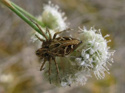 Ставропольский край, на скабиозе. Не очень крупный, до 8 мм паук.     Цвет  светло-коричневый с  белыми и тёмно-серыми пятнами. Ноги длинные,  покрыты  длинными торчащими шипами, которые помогают удерживать жертву.     Очень подвижный паук. Ведёт дневной образ жизни. Ловчих сетей не плетёт. Жертву поджидает на листьях и цветках. На добычу нападает, совершая прыжки и короткие перебежки.      Обитает оксиопес разноглазый в травах на сухих  лугах, на пустошах. Автор фото: Ирина Уханова
