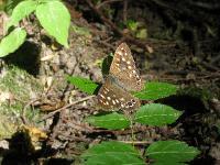 s:бабочки,c:желтовато-коричневые,c:c белыми пятнами,размах крыльев до 48 мм,s:дневные бабочки