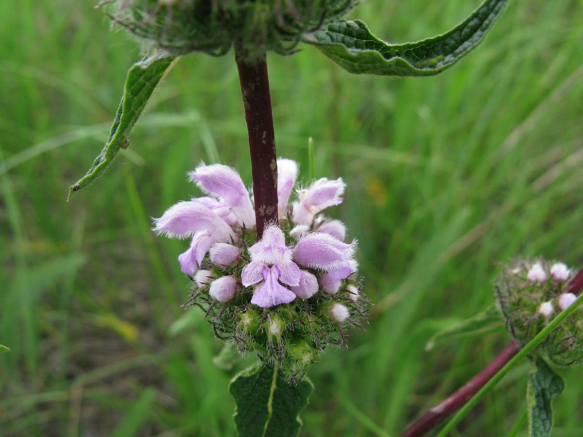 Зопник клубненосный (Phlomoides tuberosa). Автор фото: Ирина Уханова