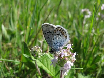 Голубянка Аргус (Plebeius argus)  Автор фото: Ирина Уханова