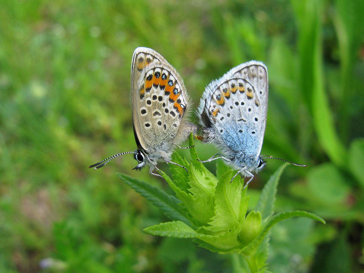 Голубянка Аргус (Plebeius argus). Автор фото: