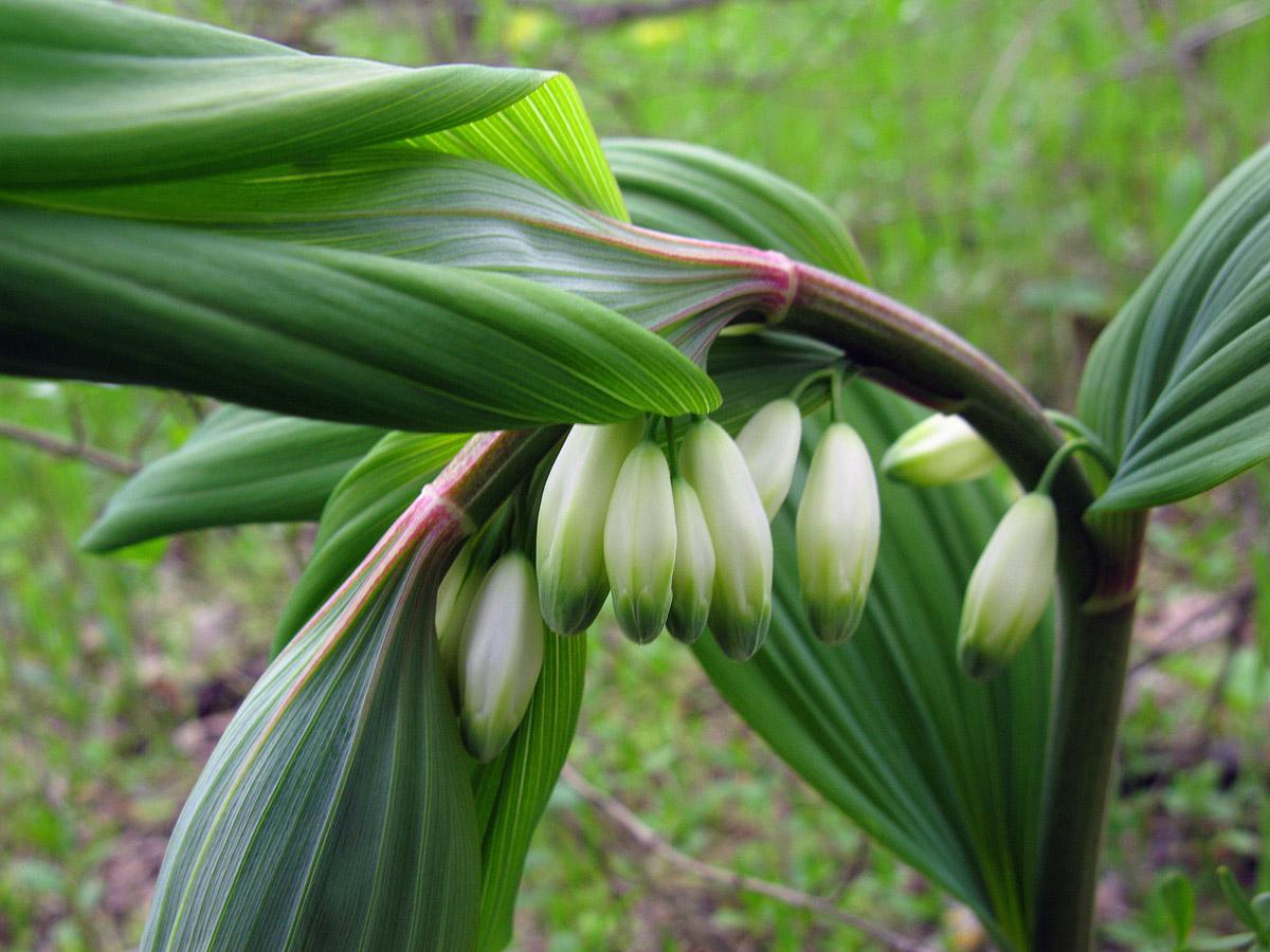 Купена гладкая (Polygonatum glaberrimum). Автор фото: Ирина Уханова