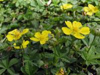 s:травянистые,s:ползучие,c:желтые,лепестков 5,околоцветник актиноморфный