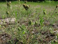 s:травянистые,s:многолетние,s:розеточные,c:белые,c:зеленые,c:красные,c:розовые,c:фиолетовые или лиловые,f:орешек,f:семянка,d:антропогенное,d:на залежах и пустырях,d:на известняках,d:степь или сухой луг,d:в лесах