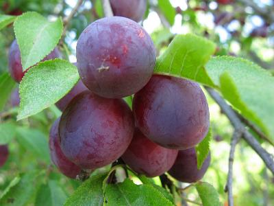 Слива вишненосная (Prunus cerasifera) Автор фото: Ирина Уханова