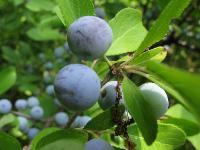 s:листопадные,s:деревья,s:кустарники,c:белые,c:1-2 см,лепестков 5,околоцветник актиноморфный,d:в степях