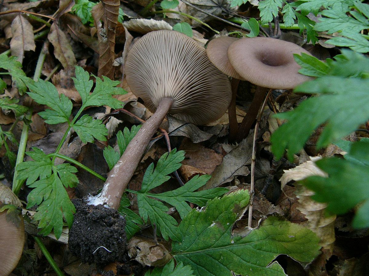 Говорушка бокаловидная (Pseudoclitocybe cyathiformis). Автор фото: