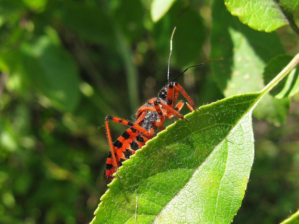Хищнец красный (Rhynocoris iracundus). Автор фото: Ирина Уханова