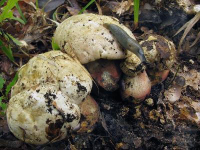 Ставропольский край, широколиственный лес. Сатанинский гриб часто повреждается и слизнями, и личинками насекомых. Автор фото: Ирина Уханова