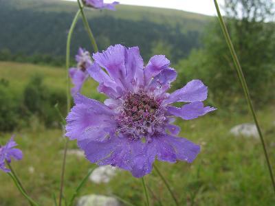 Скабиоза кавказская (Scabiosa caucasica) Автор фото: Ирина Уханова