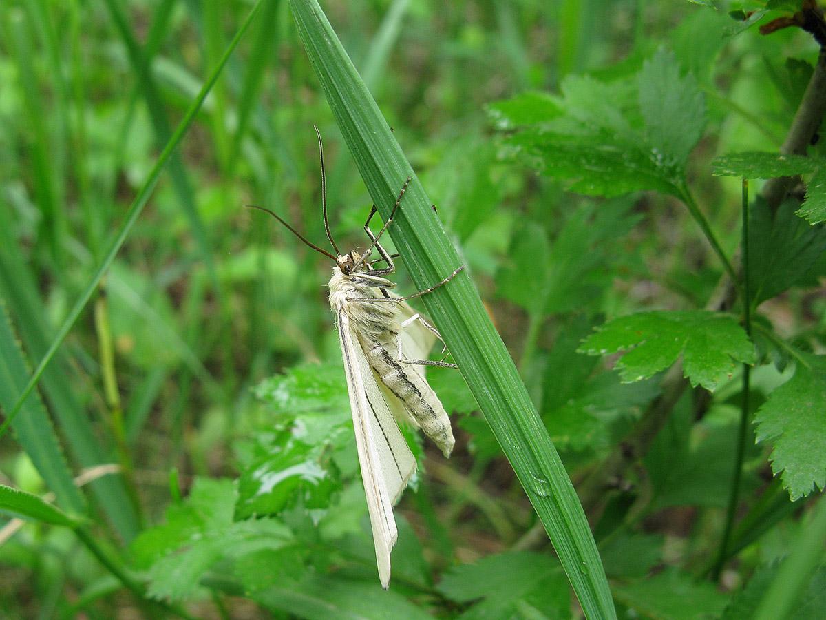 Пяденица линейчатая (Siona lineata). Автор фото: