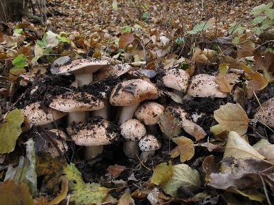 Рядовка тополевая (Tricholoma populinum) Автор: Ирина Уханова