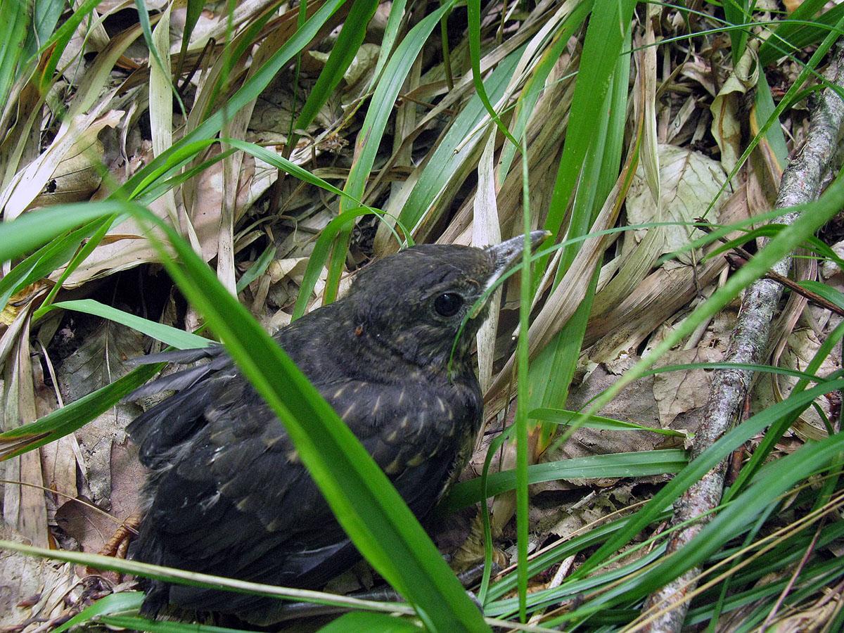 Чёрный дрозд (Turdus merula). Автор фото: