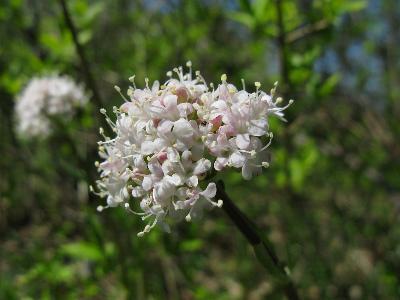 Валериана клубненосная (Valeriana tuberosa) Автор: Ирина Уханова