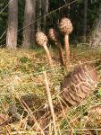 Гриб-зонтик большой (Macrolepiota procera)Жуковский район, 3 октября 2013 года, сосновый лес