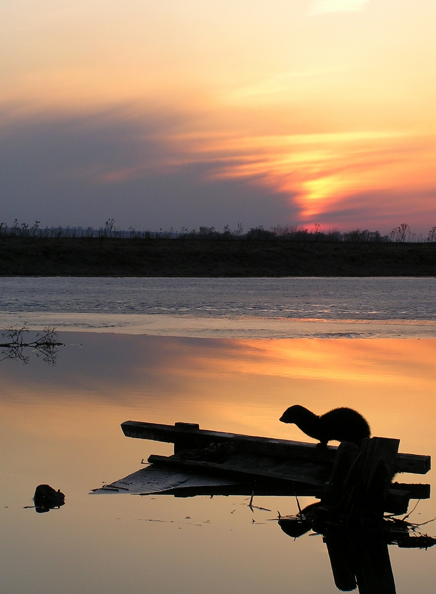 Выдра на озере. Автор фото: Вишератин Константин (г.Обнинск)