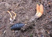 Кордицепс военный(Cordyceps militaris)