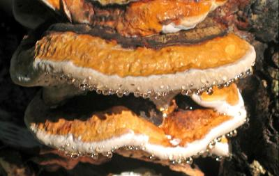 Трутовик окаймлённый (Fomitopsis pinicola) Автор: Василий Коноплев