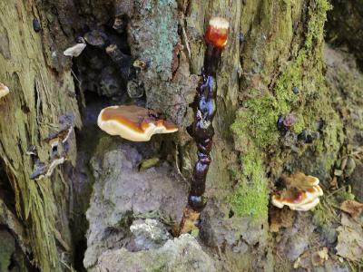 Трутовик лакированный (Ganoderma lucidum) Автор: Василий Коноплев