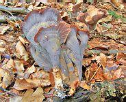 Гомфус булавовидный(Cantharellus clavatus)