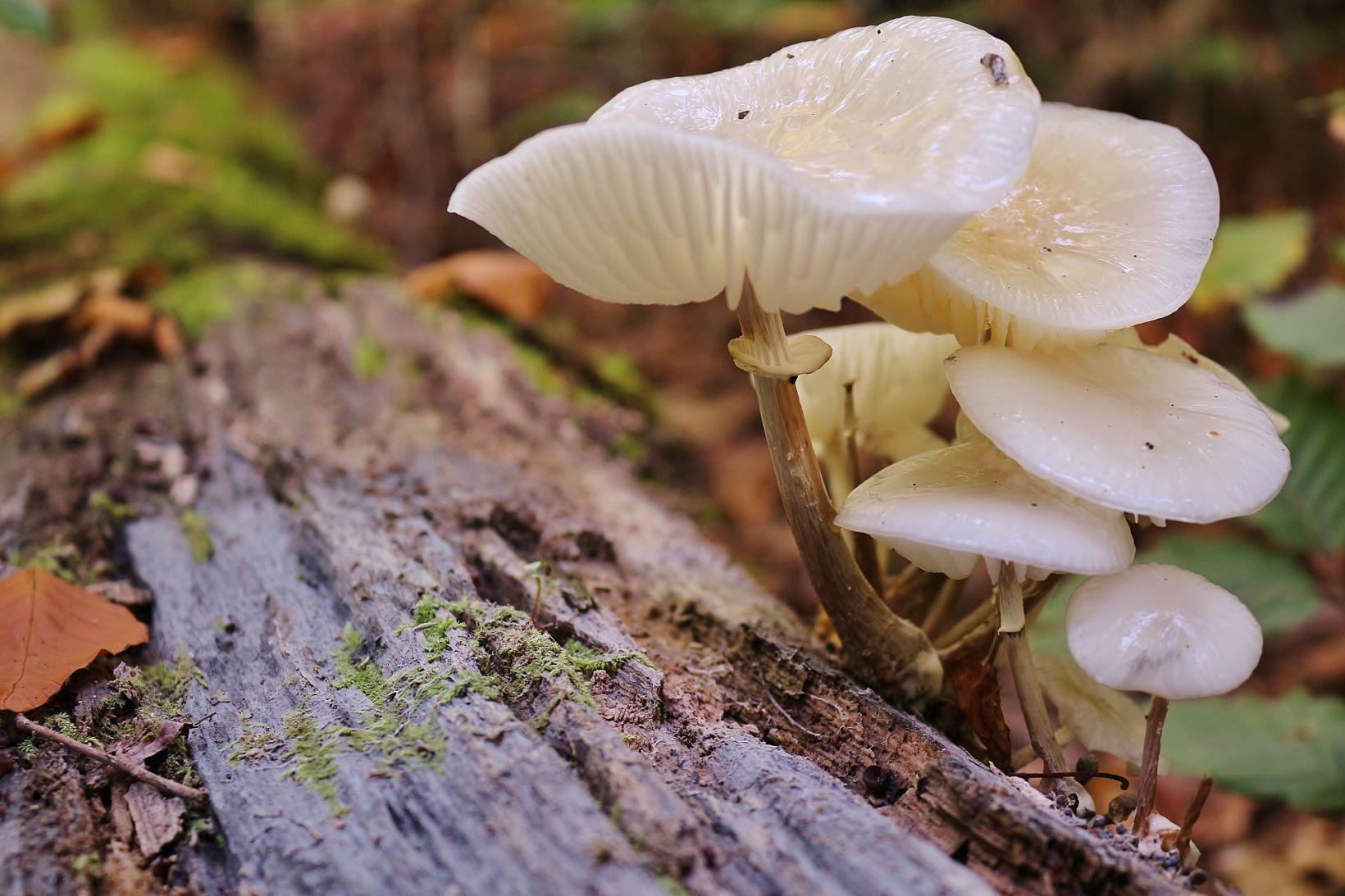 Удемансиелла слизистая (Oudemansiella mucida). Автор фото:Василий Коноплев