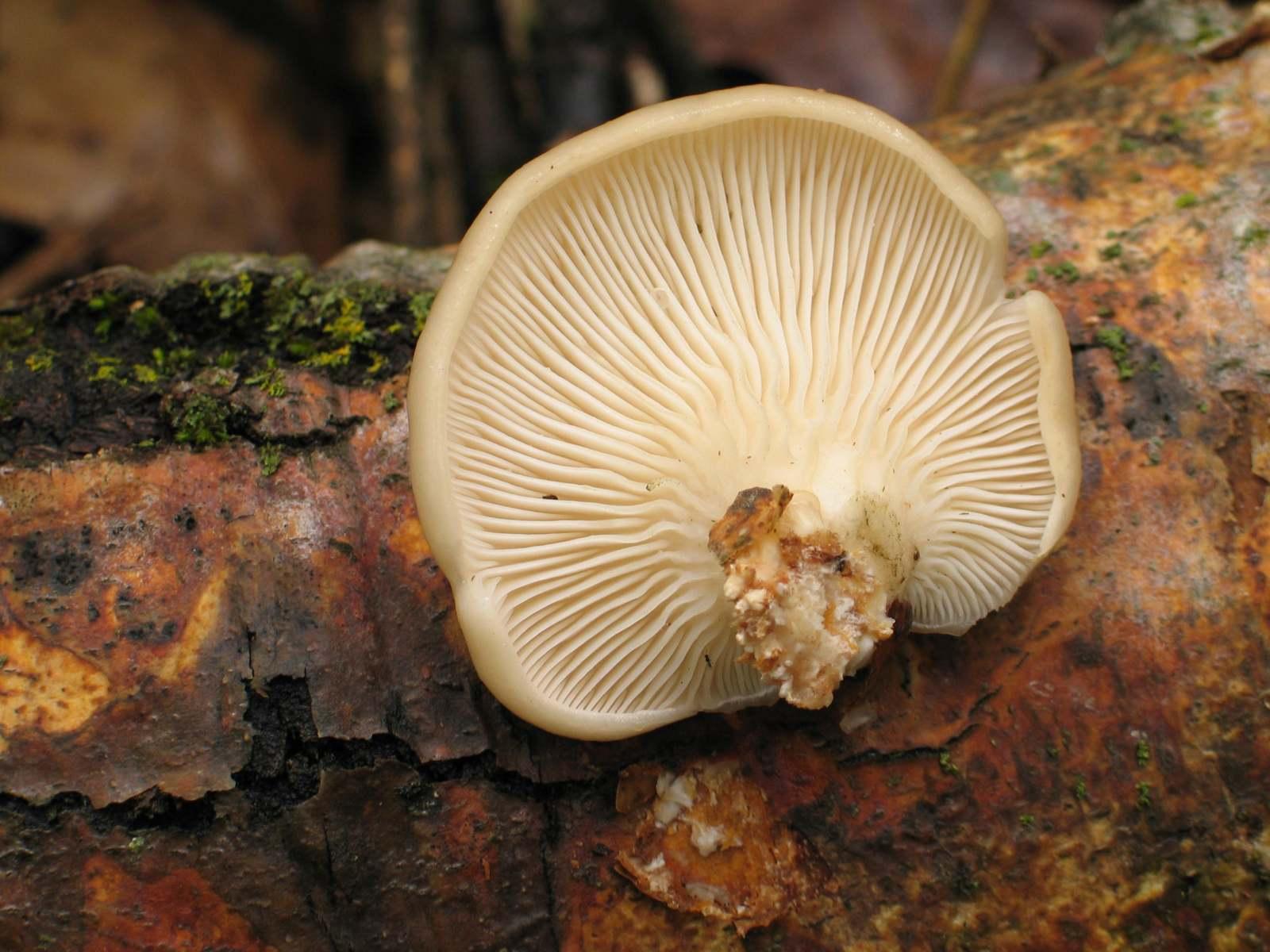 Вешенка лёгочная (Pleurotus pulmonarius). Автор фото:Василий Коноплев