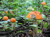 Подосиновик белоножковый (Leccinum albostipitatum)