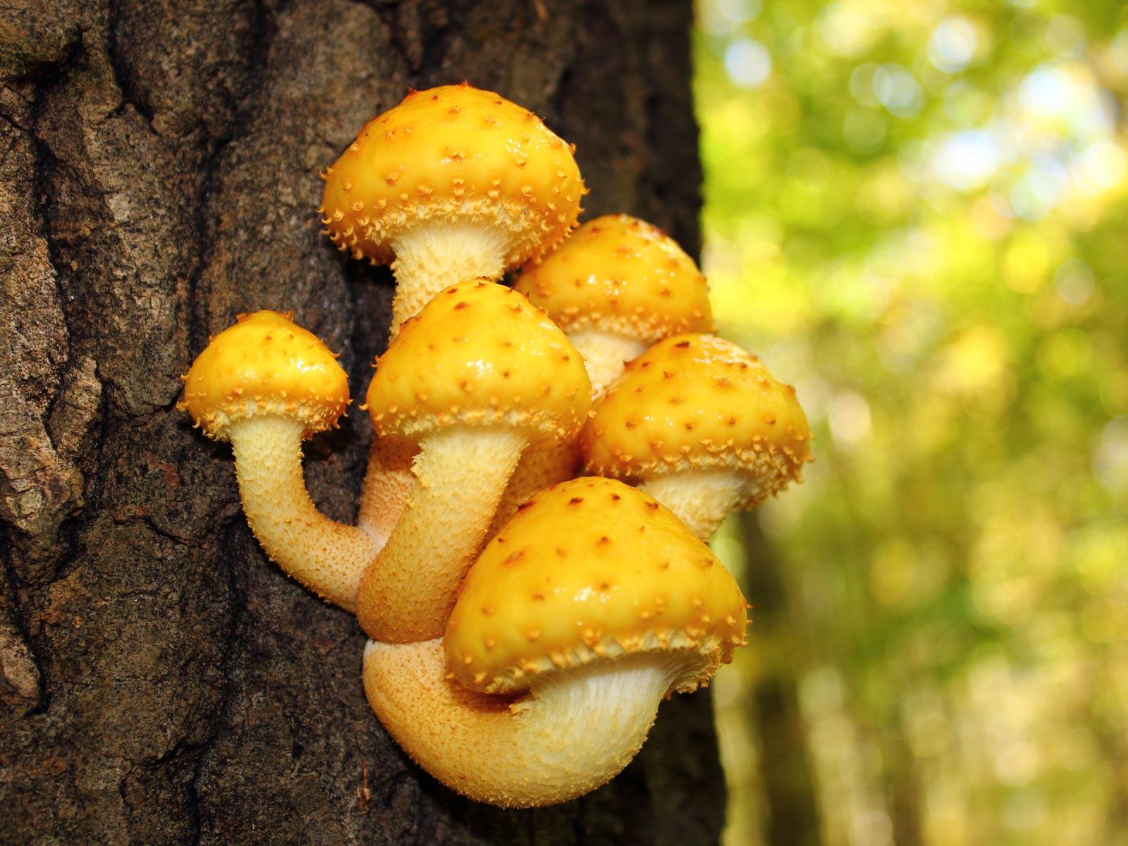 Pholiota aurivella. Автор фото: Зверев Илья