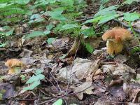 Желчный гриб (Tylopilus felleus)